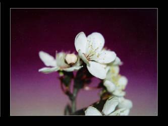 Cherry by SpringlighT