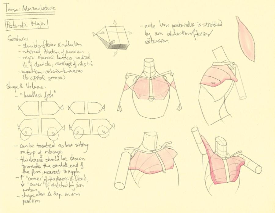Hampton p.92-93: Torso - Pectoralis by theThirdCartel