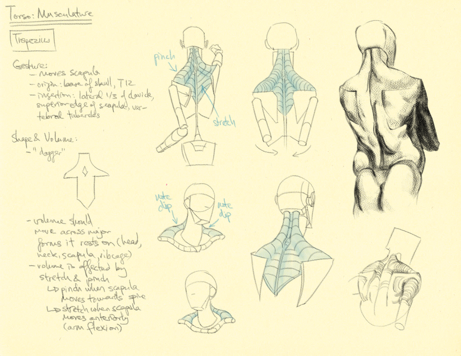 Character Design Tutorial Reddit : Hampton p torso trapezius by thethirdcartel on