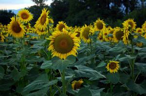LS sunflower by lounalovegood-stock