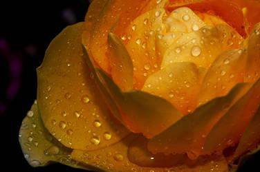 LS yellow rose by lounalovegood-stock