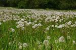 LS dandelions