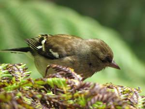 Fern Bird
