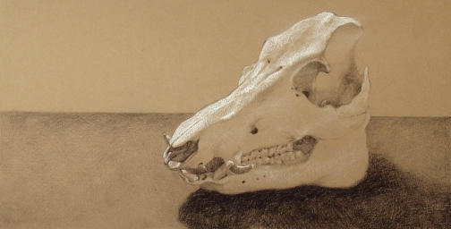 A Sow's Skull Study by ceruleanrabbit