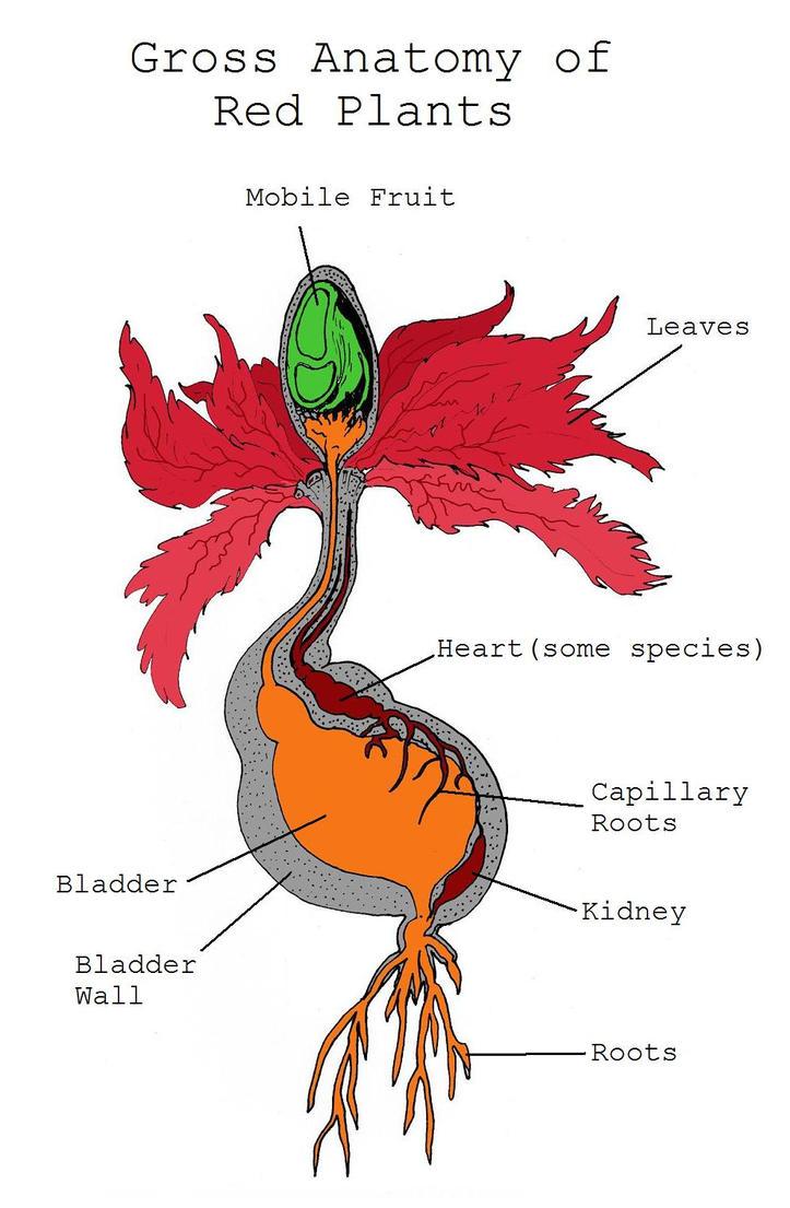 Red Algae Diagram
