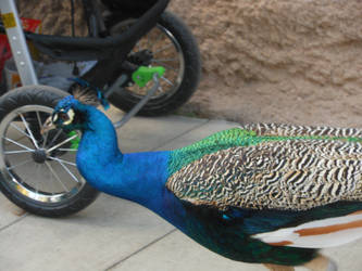 Peacock by Alisvolatpropis