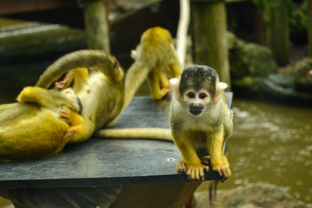 Bolivian Squirrel Monkey by EdPreece