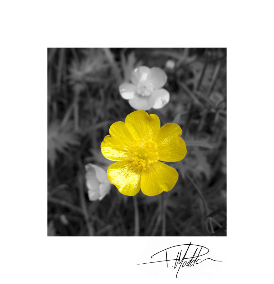 Flower B and W - Colour - with border and sig by Paul-Madden