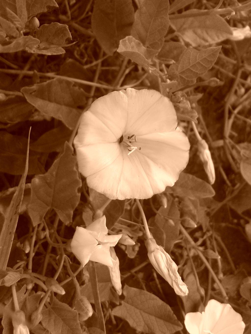 Little Flower sepia 2 by MasterTeska