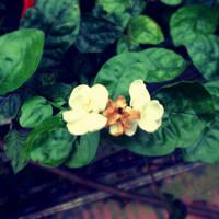 Jasmine by HangLee