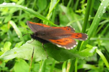 Butterfly by UkoDragon