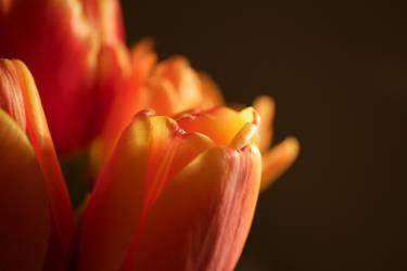 Tulip by UkoDragon