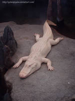 Albino Alligator by GuineaPigDan