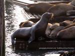 SF Sea Lion
