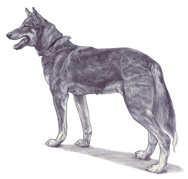 Husky by Ryer-Ord-Star