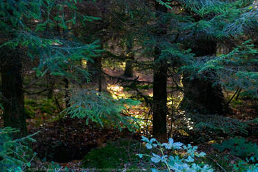 Newcastle Forest, Longford, Ireland.