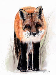 Red Fox | Realistic Waercolor