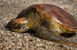 Turtle by abey79