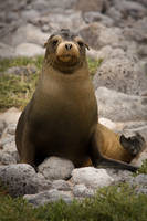 Sea lion IV by abey79
