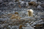 Bear in Rocks