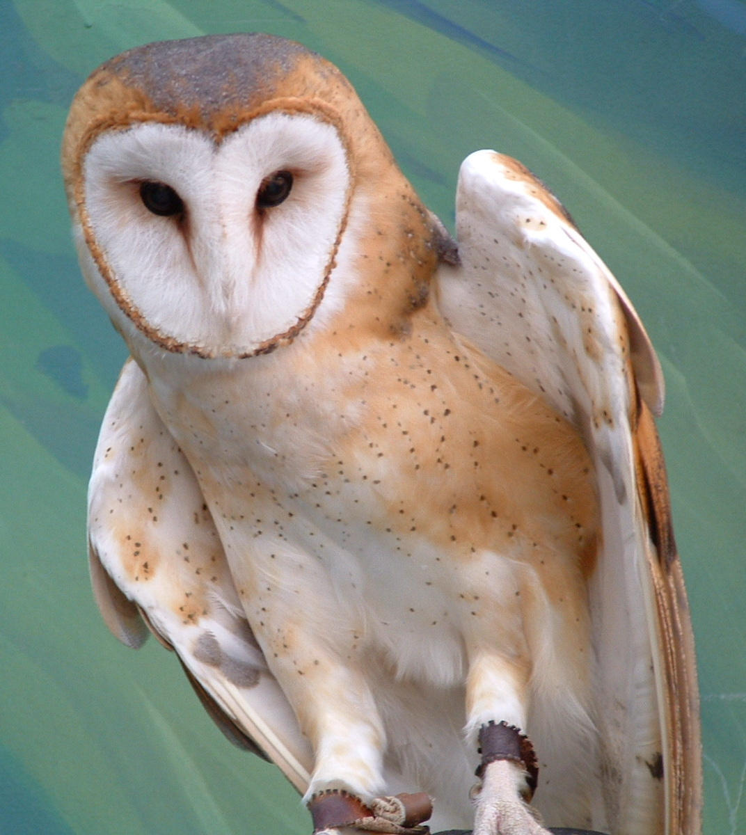 Barn Owl by ryark