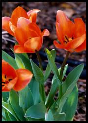 Tulip II by aniaj