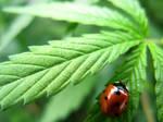 Stoner Ladybug by Tul-152