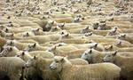 Sea of Sheeps by Tul-152