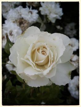 how my garden grows VII - cameo rose
