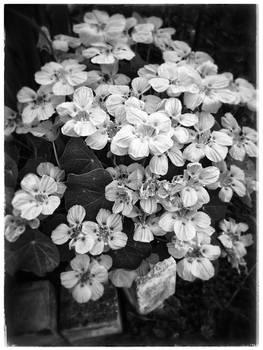 how my garden grows VI - Nasturtiums!