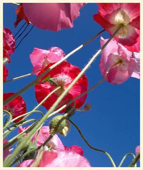 how my garden grows III - Poppies!