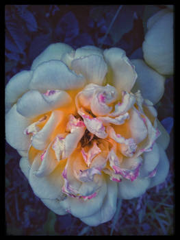 how my garden grows VII - Twilight Rose