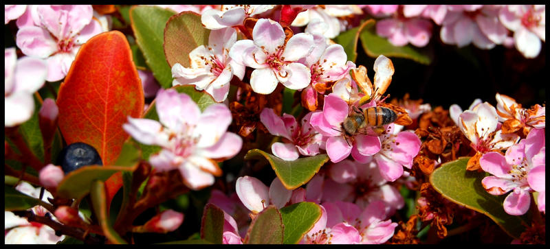 My Photography Sweet_Honey_Bee_by_bremex