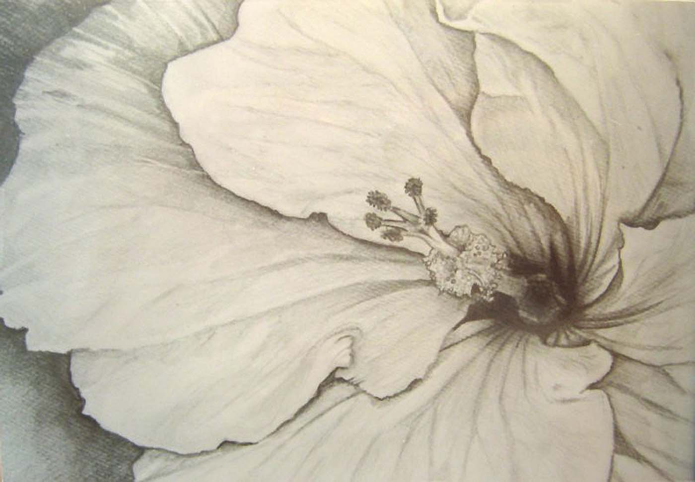 Hibiscus Original Pencil Drawing Flower Floral Still Life