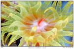 tubastrea faulkneri coral
