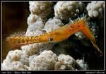 shrimp: plumed by carettacaretta