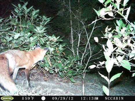 Mountain Home Neighbor. Red Fox.