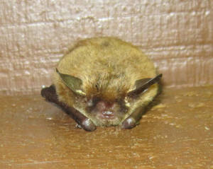Mountain Home Neighbor. Bat.