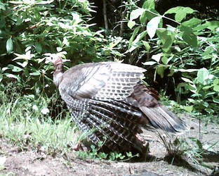 Mountain Home Visitor. Turkey by JaxTracRat