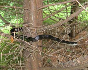 Mountain Home Visitor. Black Rat Snake.