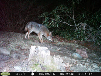 Mountain Home Visitor: Coyote. by JaxTracRat