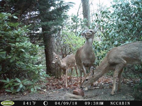 Mountain Home Neighbors: Deer