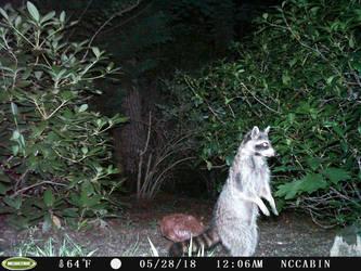 Mountain Home Neighbor: Raccoon