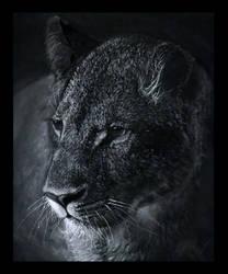 Lioness 2 by Wilku1000i1
