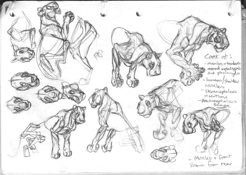 tiger anatomy drawings by starlitebarking