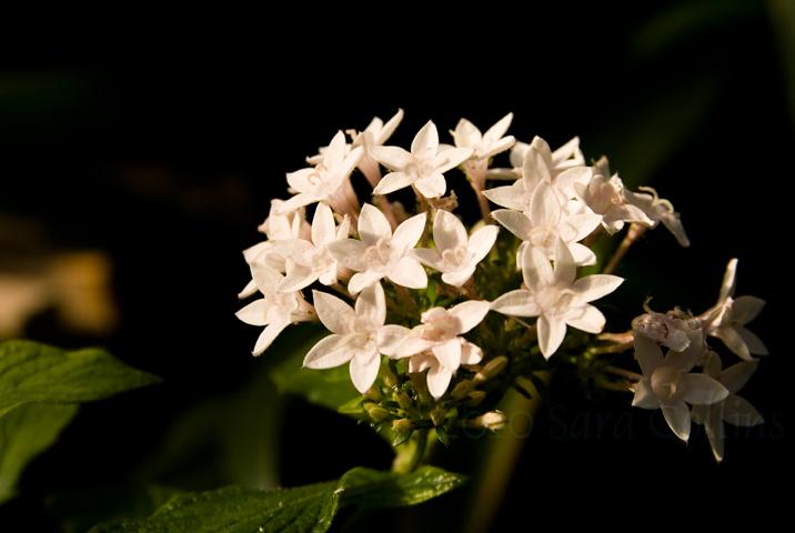 Star Flowers by thatbloodypirate
