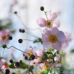 charm of the anemone