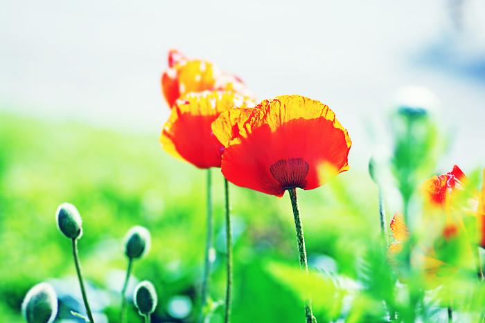 they bloom...Like love by AlicjaRodzik