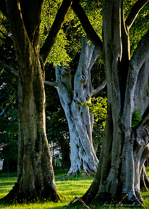 The old Beech Tree by jmbroscombe