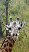 Oh hai giraffe